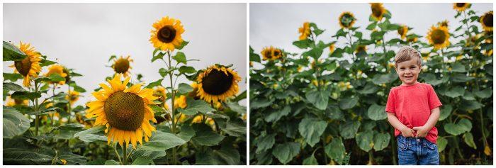 Sopley Farm Sunflower Fields